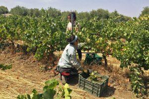 La corta de la uva verdejo, vendimia 2017