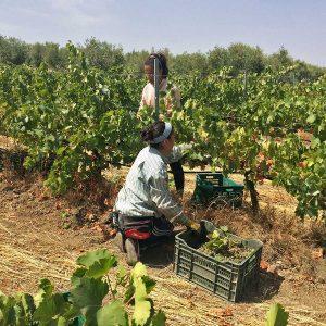 Corta de la uva verdejo ecológica en Bodegas Robles