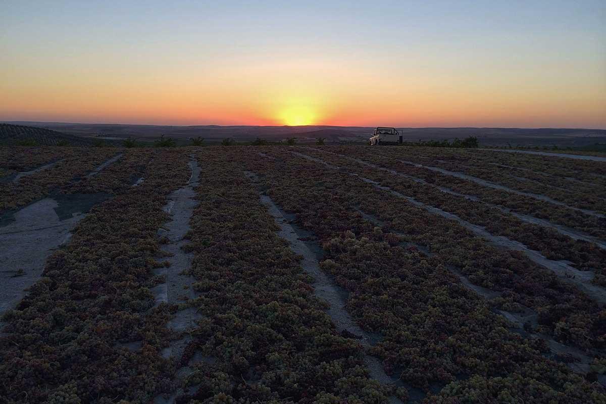 Asoleo de la uva Pedro Ximénez / Bodegas Robles