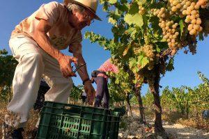 Ezequiel Martínez comparte una jornada de vendimia en el viñedo Villargallegos de Santaella