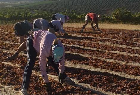 Asoleo y prensado de la uva Pedro Ximénez / Vendimia 2017