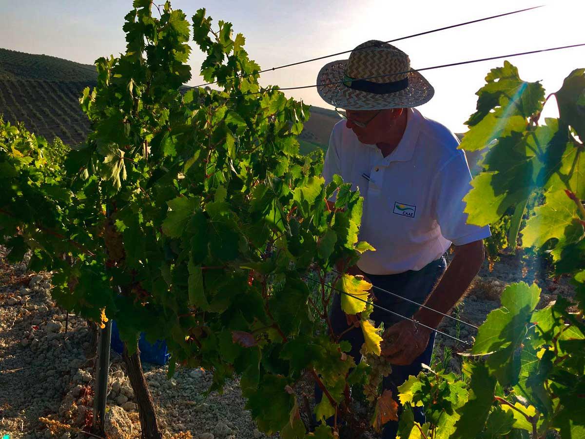 Paco Casero comparte una jornada de vendimia en el viñedo Villargallegos de Bodegas Robles