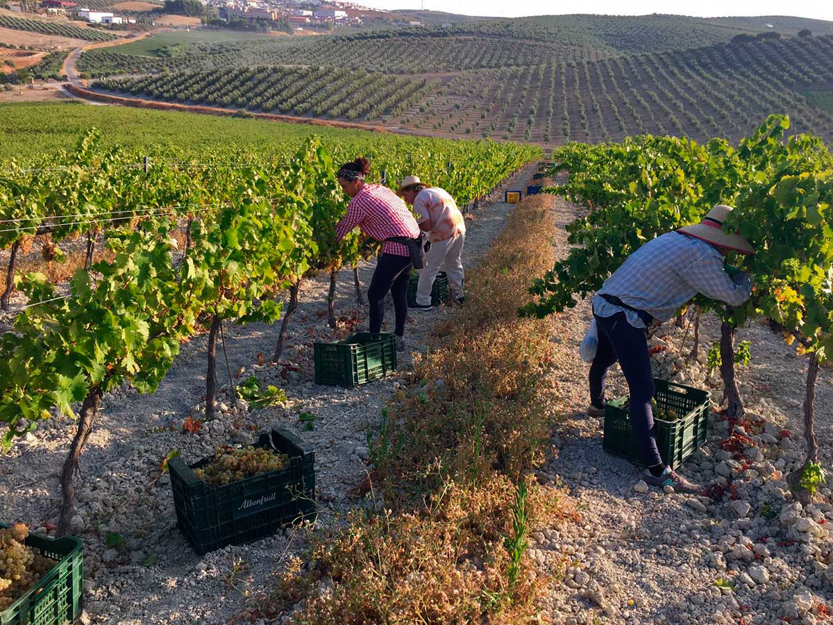 Jornada de vendimia en viñedo Villargallegos de Bodegas Robles en Santaella