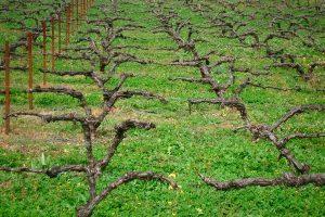 Cubierta vegetal en viñedo ecológico