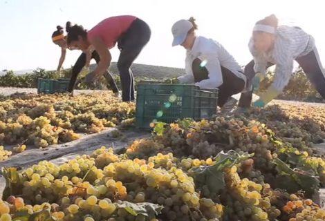 Origen y elaboración del vino Pedro Ximénez