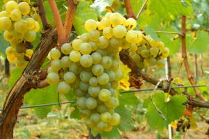 ¿Por qué usamos la uva verdejo para nuestro blanco joven?