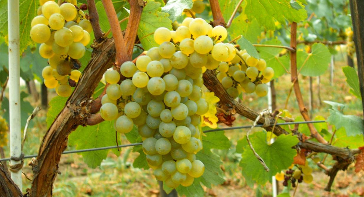 por que elegimos uva verdejo para nuestro blanco joven