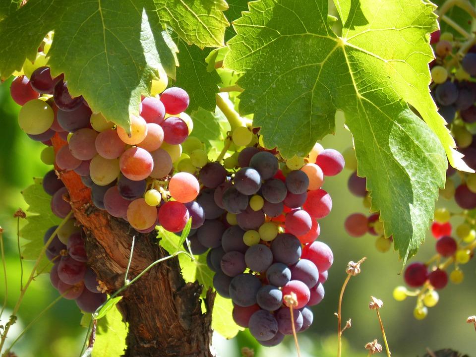 que es el vino en rama