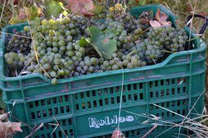 La vendimia de la uva verdejo 2020