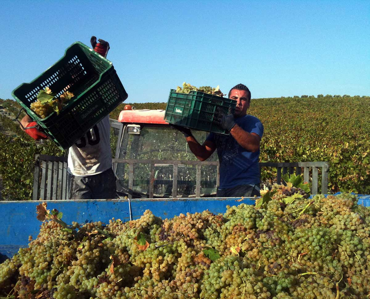 Segunda vendimia de uva Pedro Ximénez destinada a vinos espumosos